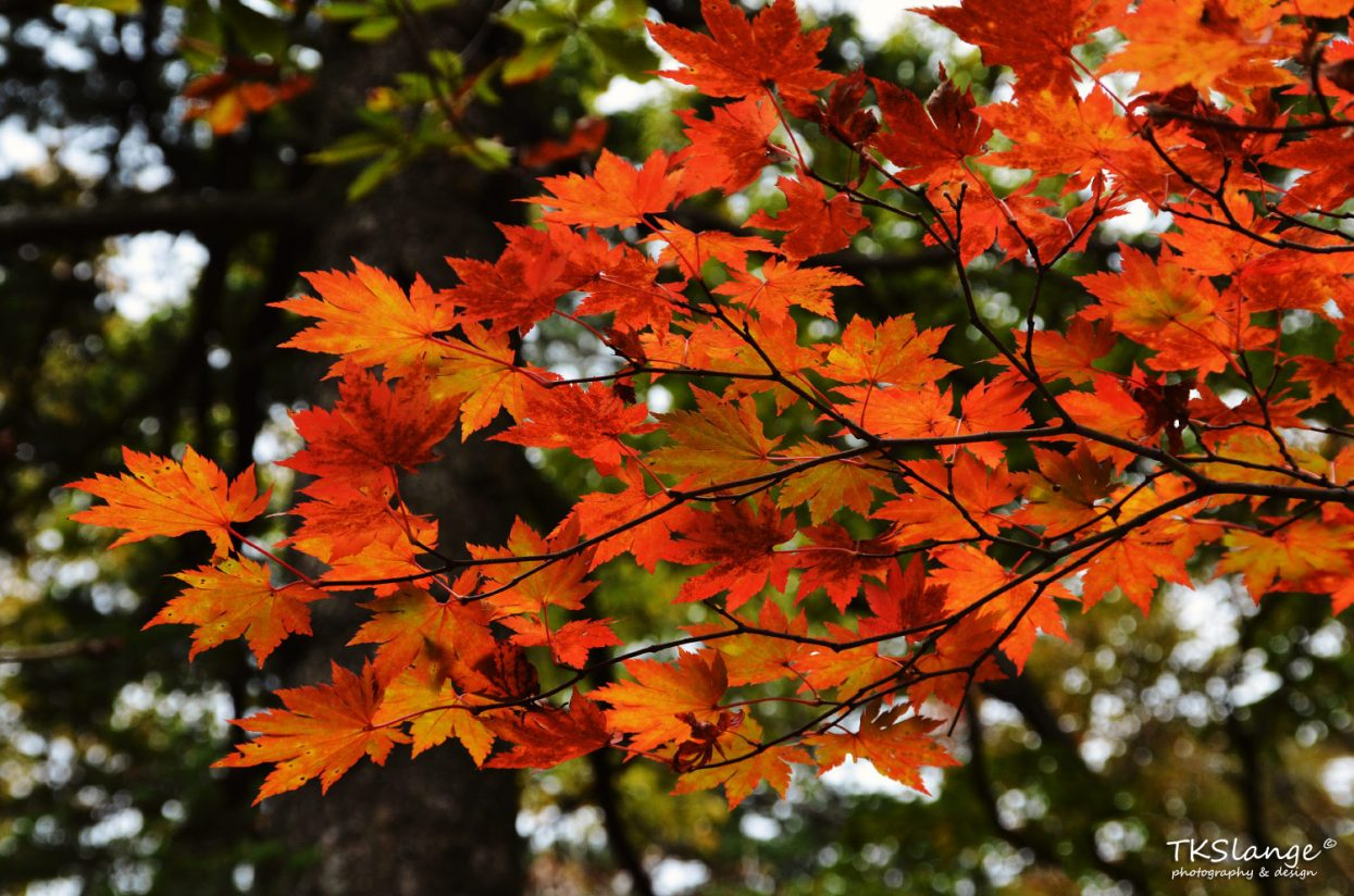 Maple leafs undergo a colour transformation during the autumn months