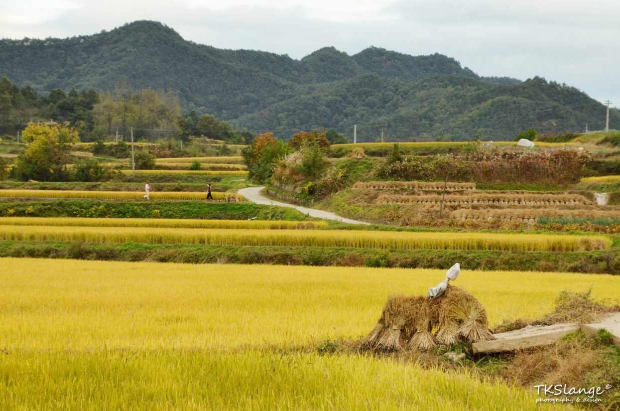 Rice fields around Hahoe Folk Village