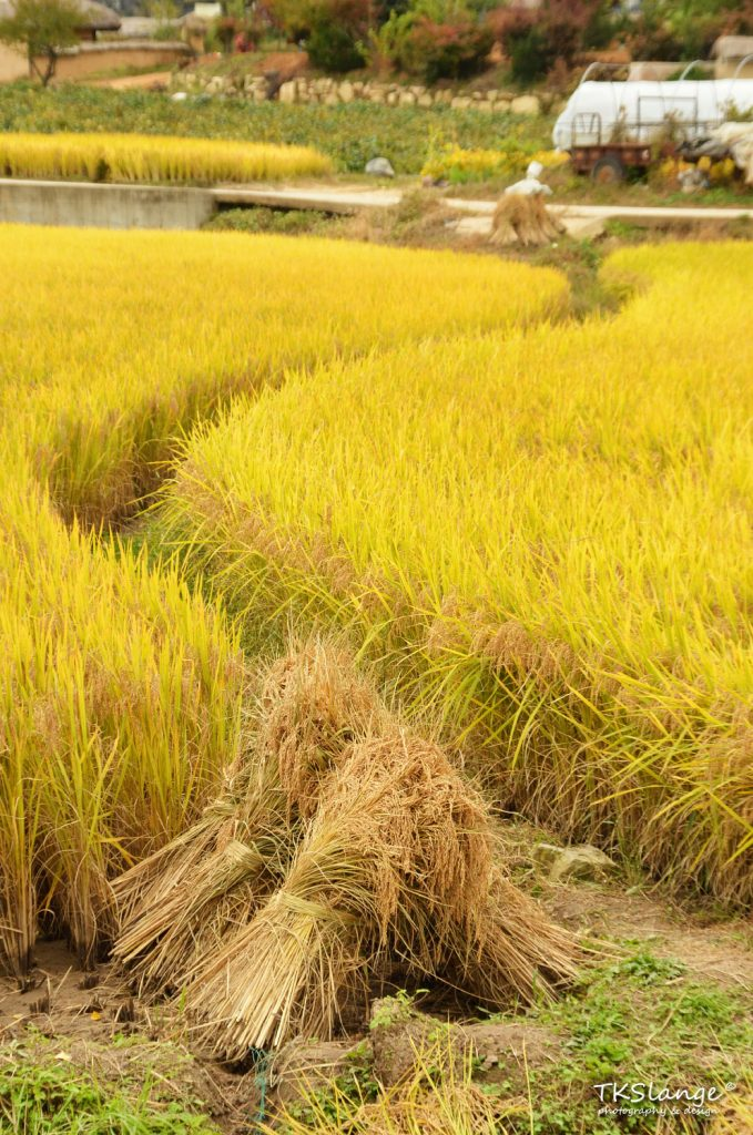 The rice is ready for harvesting.