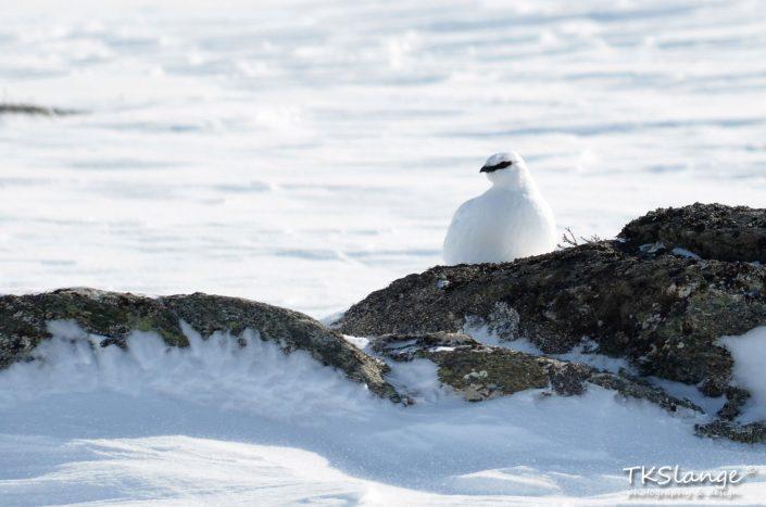 Sneeuwhoen