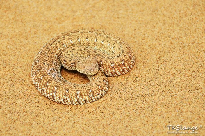 Sidewinder in the Namib desert
