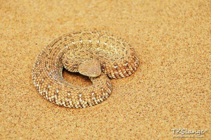 Sidewinder in de Namibwoestijn